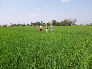 RiceField @Sukhothai