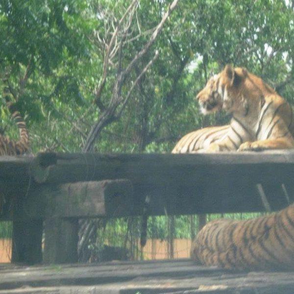TigerinOpenedZoo